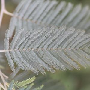 Photographie n°67028 du taxon Acacia dealbata Link [1822]