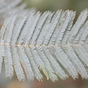 Photographie n°67029 du taxon Acacia dealbata Link [1822]