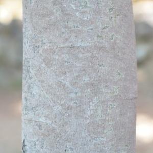Photographie n°67030 du taxon Acacia dealbata Link [1822]