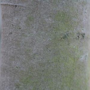 Photographie n°67035 du taxon Acacia dealbata Link [1822]