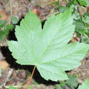 Photographie n°67038 du taxon Acer pseudoplatanus L.
