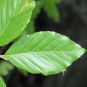 Photographie n°67125 du taxon Fagus sylvatica L.
