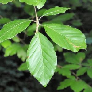 Photographie n°67126 du taxon Fagus sylvatica L.