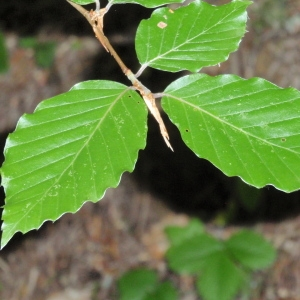Photographie n°67127 du taxon Fagus sylvatica L.