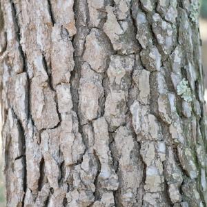Photographie n°67174 du taxon Pinus halepensis Mill. [1768]