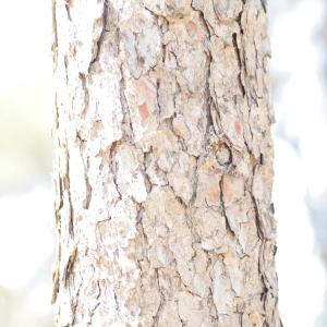 Photographie n°67177 du taxon Pinus halepensis Mill. [1768]