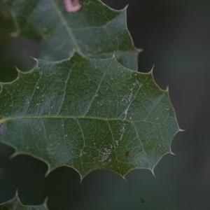 Photographie n°67215 du taxon Quercus ilex L. [1753]
