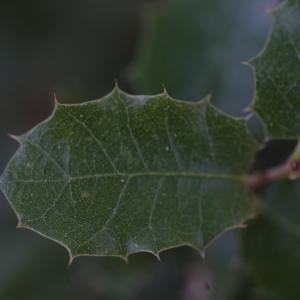 Photographie n°67216 du taxon Quercus ilex L. [1753]