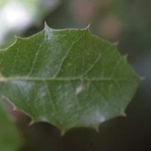 Photographie n°67217 du taxon Quercus ilex L. [1753]
