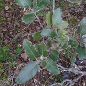 Photographie n°67221 du taxon Quercus ilex L. [1753]
