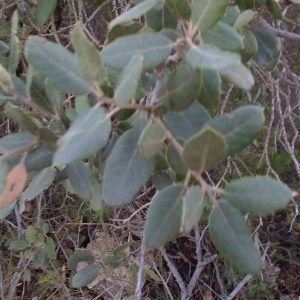 Photographie n°67223 du taxon Quercus ilex L. [1753]