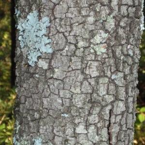 Photographie n°67228 du taxon Quercus ilex L. [1753]