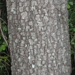 Photographie n°67231 du taxon Quercus ilex L. [1753]