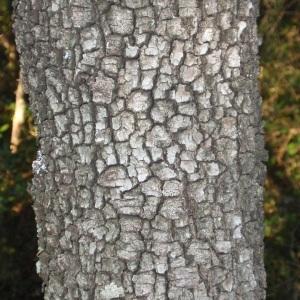Photographie n°67232 du taxon Quercus ilex L. [1753]