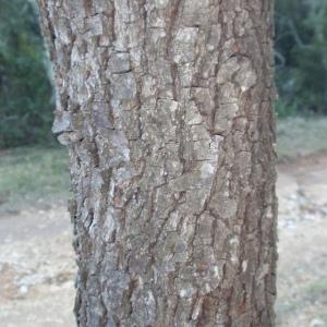 Photographie n°67236 du taxon Quercus ilex L. [1753]