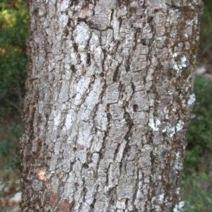Photographie n°67237 du taxon Quercus ilex L. [1753]