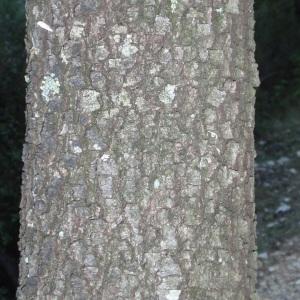 Photographie n°67238 du taxon Quercus ilex L. [1753]