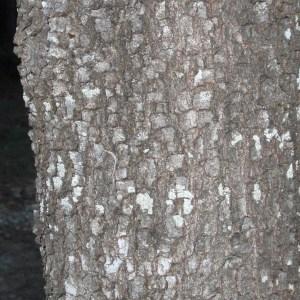 Photographie n°67239 du taxon Quercus ilex L. [1753]