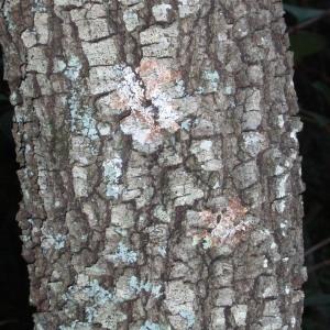 Photographie n°67240 du taxon Quercus ilex L. [1753]