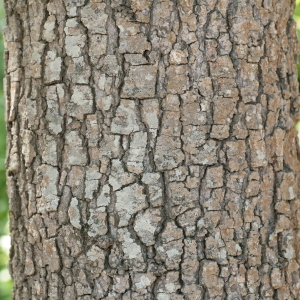 Photographie n°67241 du taxon Quercus macrolepis Kotschy [1859]