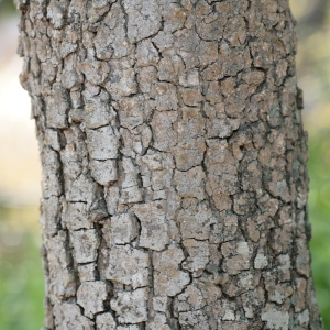 - Quercus macrolepis Kotschy [1859]