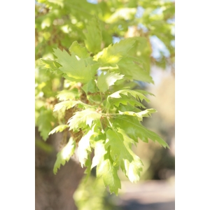 Quercus ithaburensis subsp. macrolepis (Kotschy) Hedge & Yalt. (Chêne de Grèce)