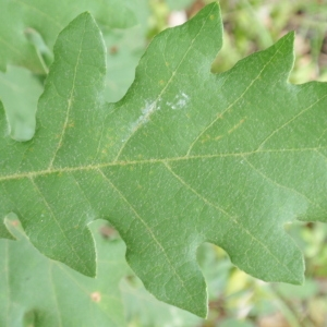 Photographie n°67245 du taxon Quercus pubescens Willd. [1805]