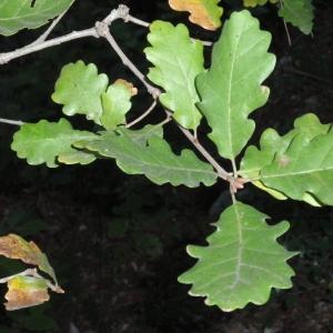 Photographie n°67248 du taxon Quercus pubescens Willd. [1805]
