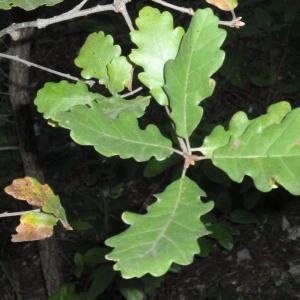 Photographie n°67249 du taxon Quercus pubescens Willd. [1805]