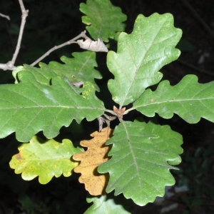 Photographie n°67250 du taxon Quercus pubescens Willd. [1805]
