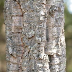 Photographie n°67251 du taxon Quercus suber L. [1753]