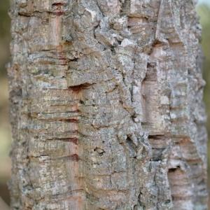 Photographie n°67252 du taxon Quercus suber L. [1753]