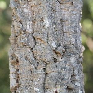Photographie n°67253 du taxon Quercus suber L. [1753]