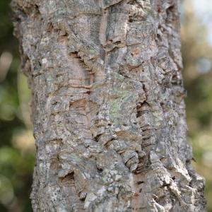 Photographie n°67254 du taxon Quercus suber L. [1753]