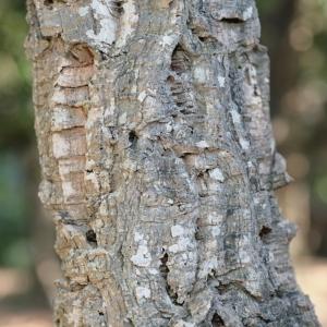 Photographie n°67255 du taxon Quercus suber L. [1753]