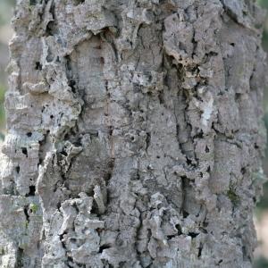 Photographie n°67256 du taxon Quercus suber L. [1753]