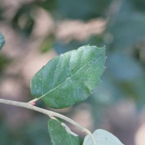 Photographie n°67257 du taxon Quercus suber L. [1753]