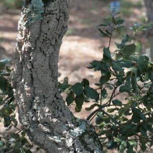 Photographie n°67258 du taxon Quercus suber L. [1753]