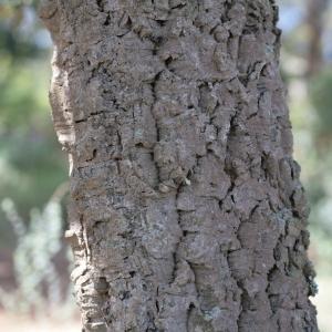 Photographie n°67259 du taxon Quercus suber L. [1753]