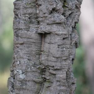 Photographie n°67260 du taxon Quercus suber L. [1753]