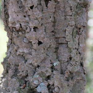 Photographie n°67261 du taxon Quercus suber L. [1753]