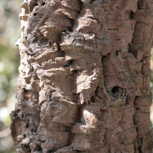 Photographie n°67262 du taxon Quercus suber L. [1753]