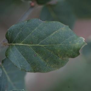 Photographie n°67267 du taxon Quercus suber L. [1753]