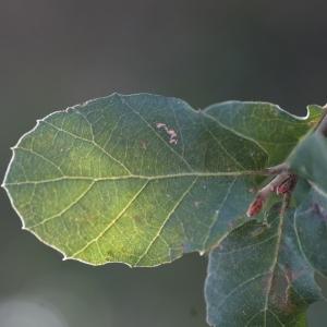 Photographie n°67268 du taxon Quercus suber L. [1753]