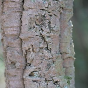 Photographie n°67269 du taxon Quercus suber L. [1753]