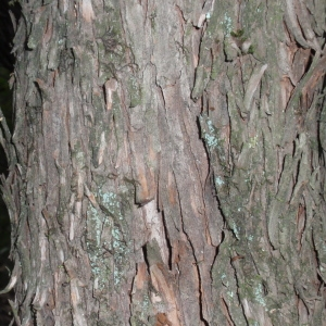 Photographie n°67295 du taxon Arbutus unedo L. [1753]