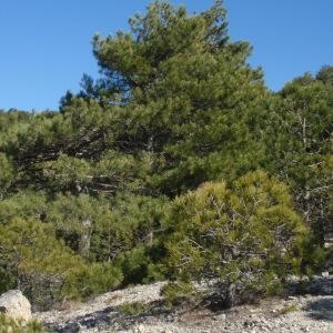 Photographie n°67315 du taxon Pinus nigra subsp. salzmannii (Dunal) Franco