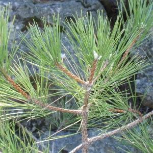 Photographie n°67316 du taxon Pinus nigra subsp. salzmannii (Dunal) Franco