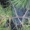 Daniel BARTHELEMY - Pinus nigra subsp. salzmannii (Dunal) Franco