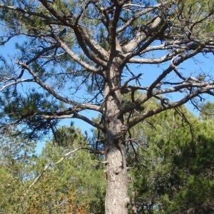 Photographie n°67318 du taxon Pinus nigra subsp. salzmannii (Dunal) Franco